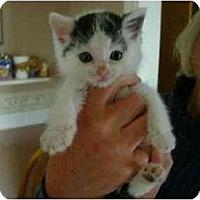 Adopt A Pet :: Domino - Westfield, MA