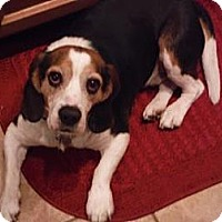 Adopt A Pet :: Jack Daniels - Phoenix, AZ