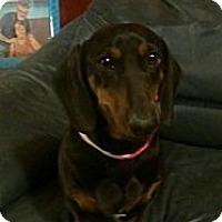 Adopt A Pet :: Elvira - beautiful standard da - Phoenix, AZ