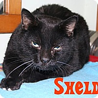 Domestic Shorthair Cat for adoption in East Stroudsburg, Pennsylvania - Sheldon
