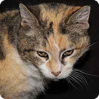 Adopt A Pet :: Marbles (Spayed) - New Photos - Marietta, OH