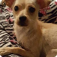 Adopt A Pet :: Gracie Sparkle - Houston, TX