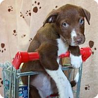 Adopt A Pet :: Launce - Salem, NH