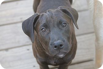 Mastiff/Labrador Retriever Mix Puppy for adoption in Bedford Hills, New York - Aster