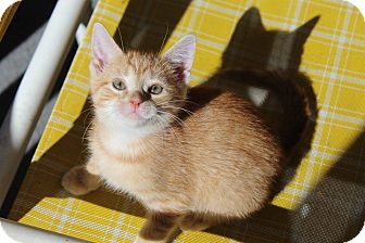 Domestic Mediumhair Kitten for adoption in Winchester, Virginia - Fey
