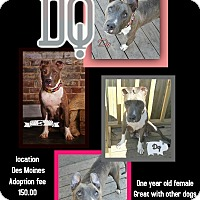American Pit Bull Terrier Mix Dog for adoption in Des Moines, Iowa - DQ