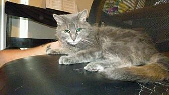 Domestic Shorthair Cat for adoption in Baton Rouge, Louisiana - Gracie (courtesy listing)