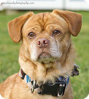 Pug/Beagle Mix Dog for adoption in Worcester, Massachusetts - Benny