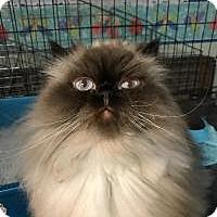 Adopt A Pet :: Lulu Lemon  (love me) - Sterling Hgts, MI