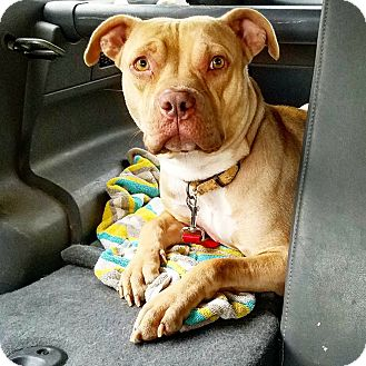 Pit Bull Terrier Dog for adoption in Culver City, California - Hera