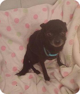Chihuahua Dog for adoption in Everett, Washington - Danni