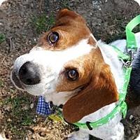 Adopt A Pet :: Ash - Richmond, VA