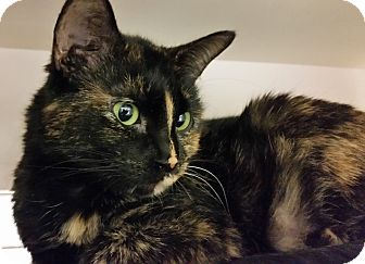 Domestic Shorthair Cat for adoption in St. Louis, Missouri - Misty