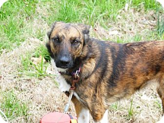 Collie/Catahoula Leopard Dog Mix Dog for adoption in Spring Valley, New York - Sika