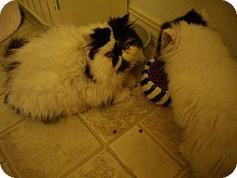 Persian Kitten for adoption in Sheridan, Oregon - Moose
