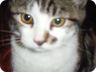 Domestic Shorthair Kitten for adoption in Kensington, Maryland - Summer
