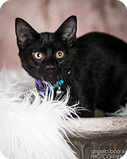 Domestic Shorthair Kitten for adoption in Eagan, Minnesota - Sprout