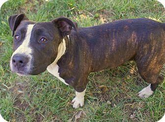 Staffordshire Bull Terrier Mix Dog for adoption in Yuba City, California - 05/01 Daisy