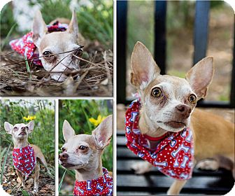 Chihuahua Mix Dog for adoption in Bartow, Florida - Caramel