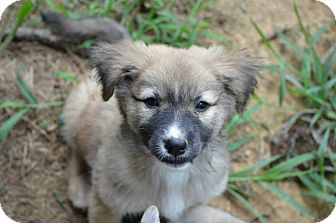 Border Collie/Australian Shepherd Mix Puppy for adoption in New Boston, New Hampshire - Billie