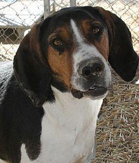 Foxhound Mix Dog for adoption in Savannah, Missouri - Bennie