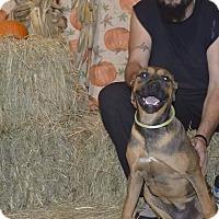 Adopt A Pet :: Saphira - Lima, OH