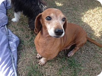 Dachshund Mix Dog for adoption in Inverness, Florida - Lucy Ball