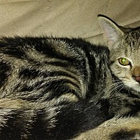 Domestic Shorthair Kitten for adoption in Bethpage, New York - JO JO