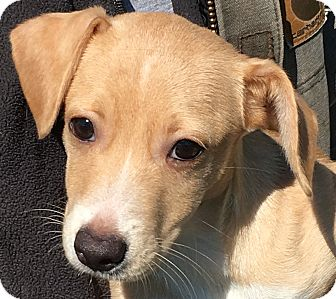 Dachshund/Corgi Mix Puppy for adoption in Pennigton, New Jersey - Rumba