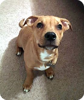 Shepherd (Unknown Type)/Labrador Retriever Mix Puppy for adoption in Detroit, Michigan - Prince-Adopted!