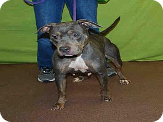 Pit Bull Terrier Dog for adoption in Louisville, Kentucky - PENNY