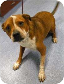 American Bulldog/Boxer Mix Dog for adoption in Gainesville, Florida - Mildred