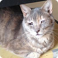 Domestic Shorthair Cat for adoption in Jacksonville, North Carolina - Gracie