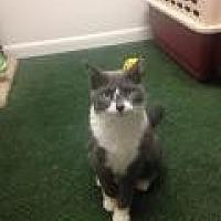 Domestic Shorthair Cat for adoption in Livonia, Michigan - Diamond