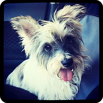 Schnauzer (Miniature)/Yorkie, Yorkshire Terrier Mix Dog for adoption in Grand Bay, Alabama - Buddy