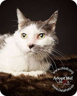 Domestic Mediumhair Cat for adoption in Denver, Colorado - Lovely Ms. Ethel