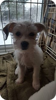 Shih Tzu Mix Puppy for adoption in Fort Atkinson, Wisconsin - Prudence