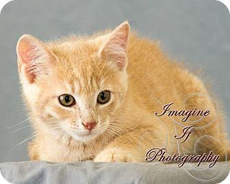 Domestic Shorthair Cat for adoption in Oklahoma City, Oklahoma - Hefner