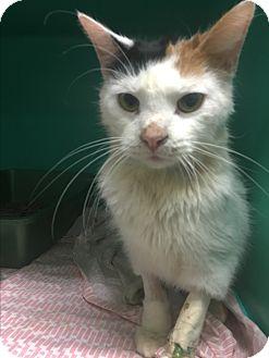 Domestic Shorthair Cat for adoption in Saylorsburg, Pennsylvania - Skinny Minnie