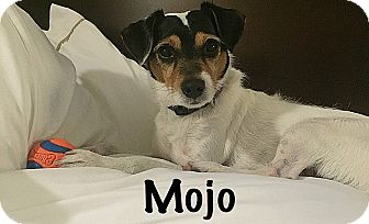 Jack Russell Terrier Dog for adoption in Providence, Rhode Island - Mojo