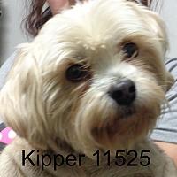Adopt A Pet :: Kipper - Greencastle, NC