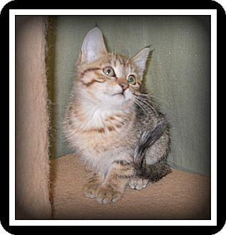Domestic Shorthair Cat for adoption in Medford, Wisconsin - VANNA