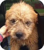Border Terrier/Airedale Terrier Mix Dog for adoption in Boulder, Colorado - Noah