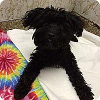 Adopt A Pet :: Mop - New York, NY