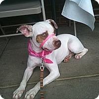 Adopt A Pet :: Gizmo - York, SC