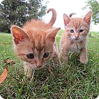 Adopt A Pet :: KumquatKirby - Troy, OH