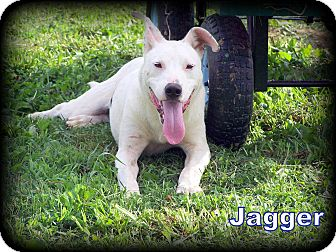 American Bulldog/Labrador Retriever Mix Puppy for adoption in Sussex, New Jersey - Jagger I REALLY DO HAVE MOVES!