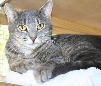 Domestic Shorthair Cat for adoption in Freeport, Florida - Nancy