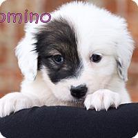 Adopt A Pet :: Domino - Austin, TX