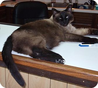 Tonkinese Cat for adoption in Speedway, Indiana - Ming